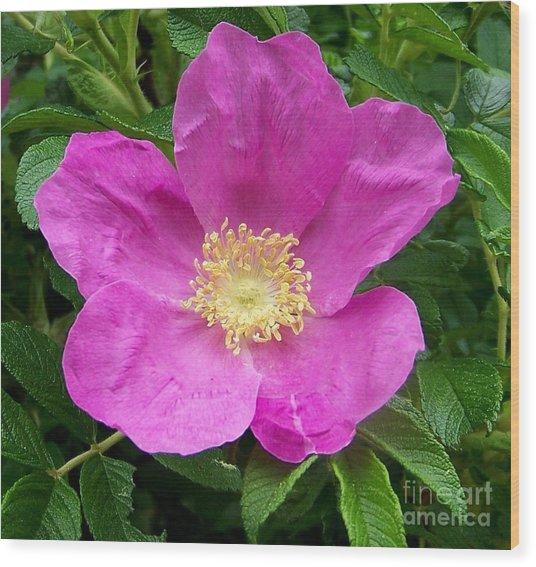 Pink Beach Rose Fully In Bloom Wood Print