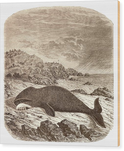 Beached Or Stranded Northern Whale Wood Print