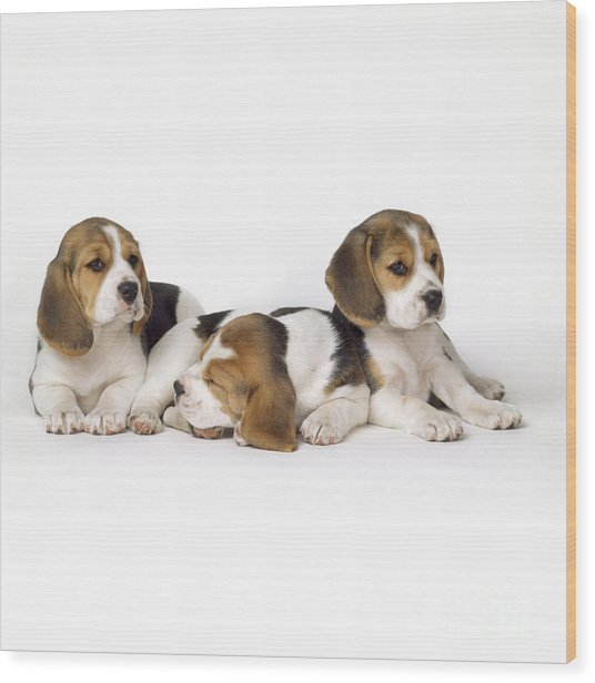 Beagle Puppies, Row Of Three, Second Wood Print