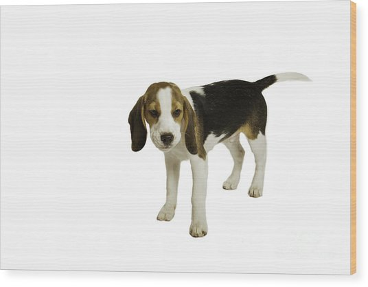 Beagle Puppy Wood Print by Lesley Rigg