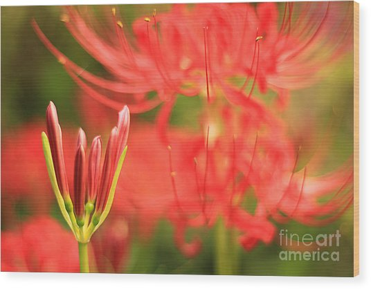 Beautiful Amaryllis Flower Red Spider Lily Aka Resurrection Lily Wood Print