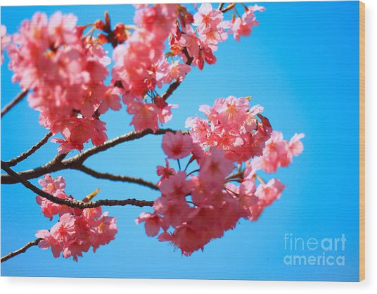 Beautiful Bright Pink Cherry Blossoms Against Blue Sky In Spring Wood Print