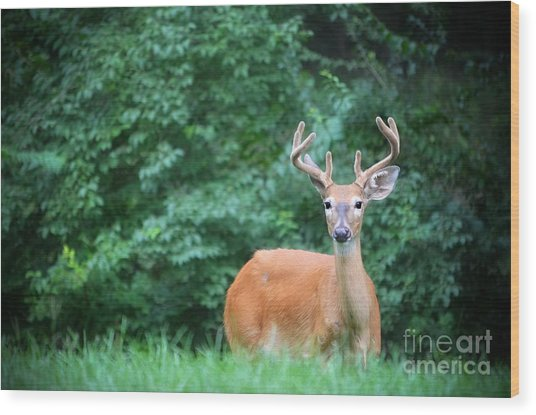 Beautiful Buck  Wood Print
