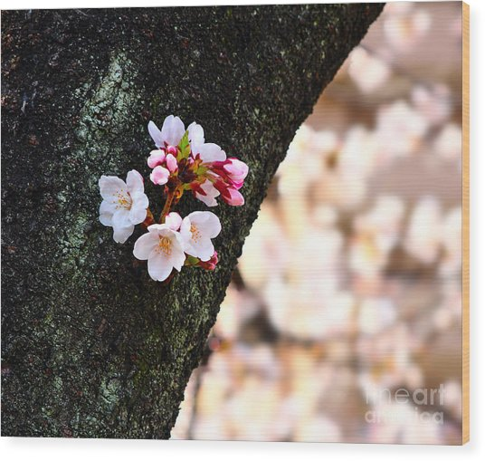Beautiful Cherry Blossoms Blooming From Tree Trunk Wood Print