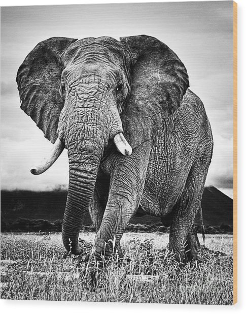 Beautiful Elephant Black And White 33 Wood Print