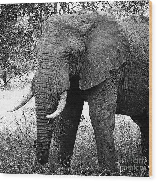 Beautiful Elephant Black And White 59 Wood Print