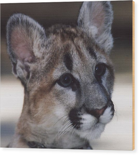 Beautiful Face-cougar Cub Wood Print