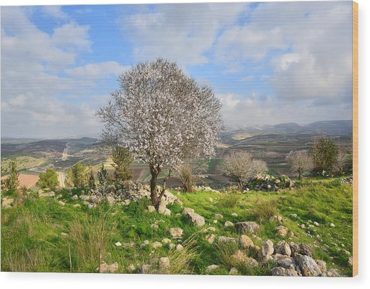 Beautiful Flowering Almond Tree Wood Print