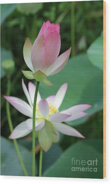 Beautiful Lotus Blooming Wood Print