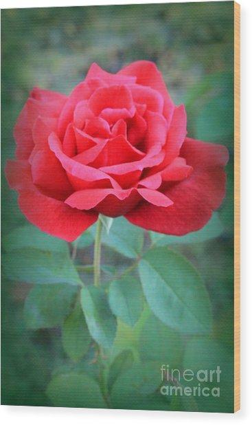 Beautiful Morning Rose  Wood Print