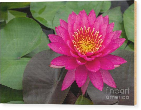 Beautiful Pink Waterlily Wood Print