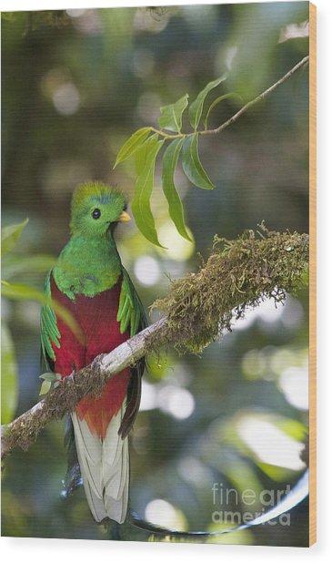 Beautiful Quetzal 1 Wood Print