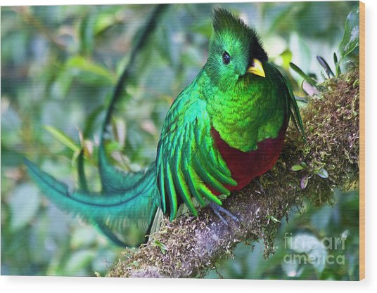 Beautiful Quetzal 4 Wood Print