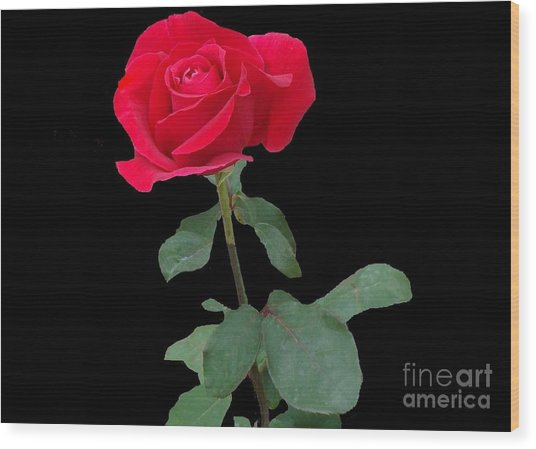 Beautiful Red Rose Wood Print