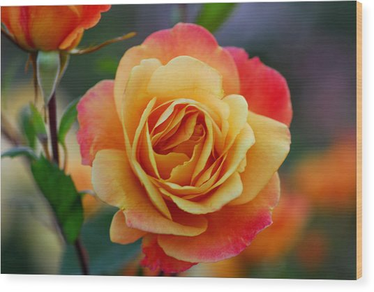 Beautiful Roses Wood Print