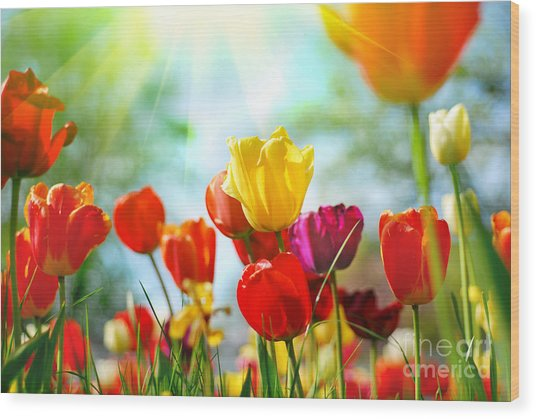 Beautiful Spring Tulips Wood Print