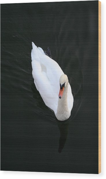 Beautiful Swan Wood Print by Allan Millora