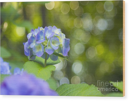 Beautiful Violet Hydrangea With Green Leaves And Bokeh Lights Wood Print