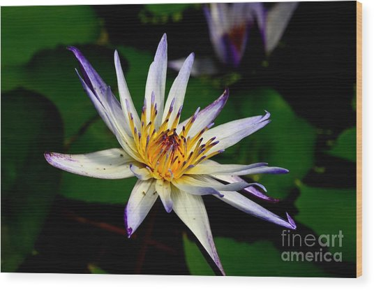 Beautiful Violet White And Yellow Water Lily Flower Wood Print