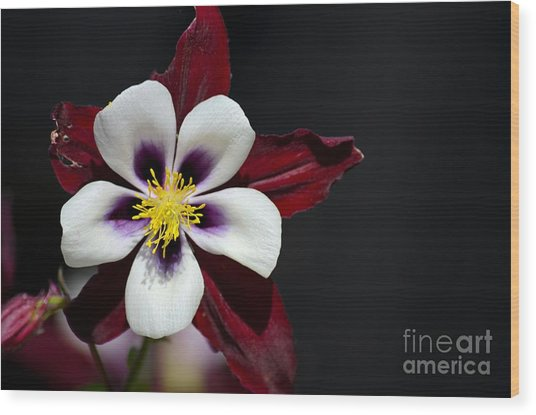Beautiful White Petal Yellow Stamen Purple Shades Aquilegia Columbine Flower Wood Print