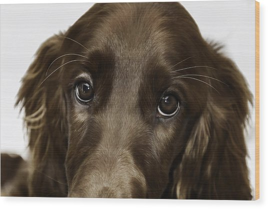 Beauty Of An Irish Setter Wood Print