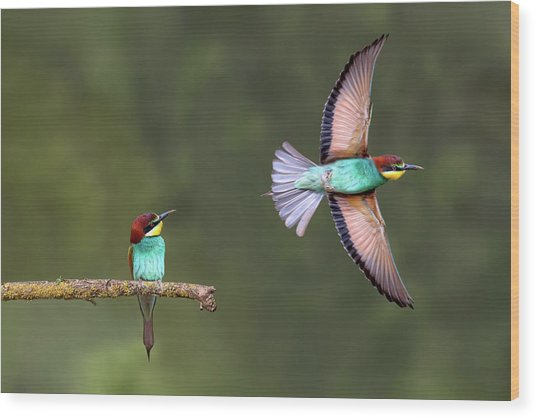 Bee-eater Going For Food Wood Print by Xavier Ortega