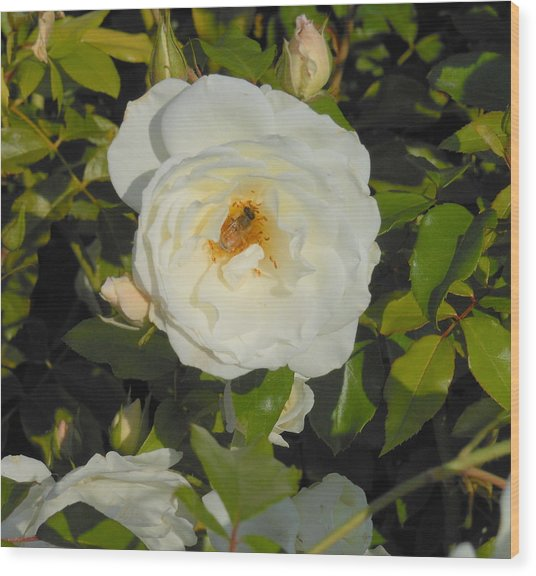 Bee In A White Rose Wood Print by Kay Gilley