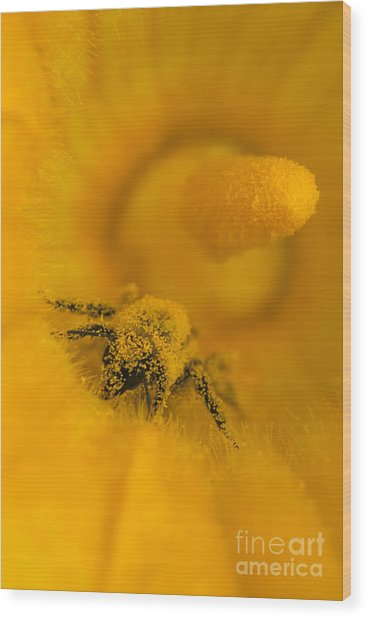 Bee In Pollen Wood Print