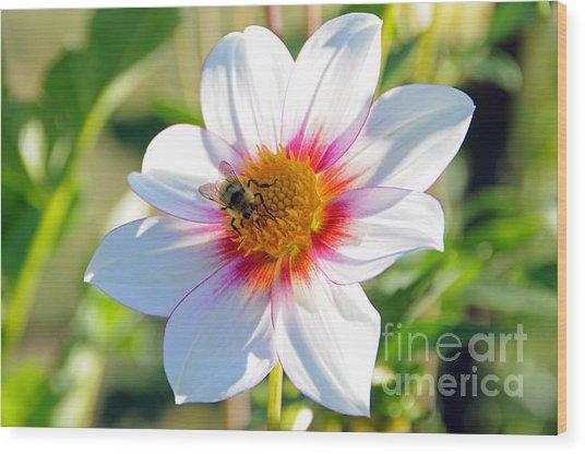 Bee On Dahlia Wood Print