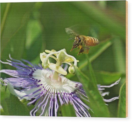 Bee On Passionflower Wood Print