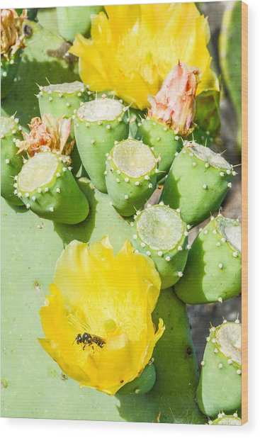 Bee Visits Cactus Blossom Wood Print by Wally Taylor