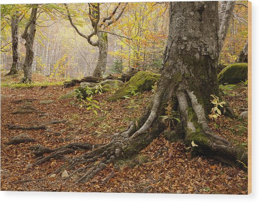 Beechwood Wood Print by Javier Fores