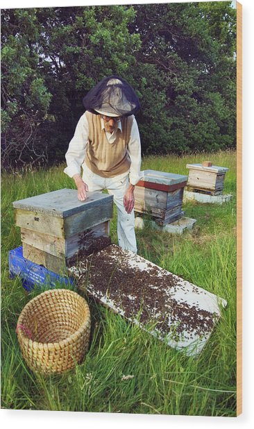 Beekeeper Hiving A Honeybee Swarm Wood Print
