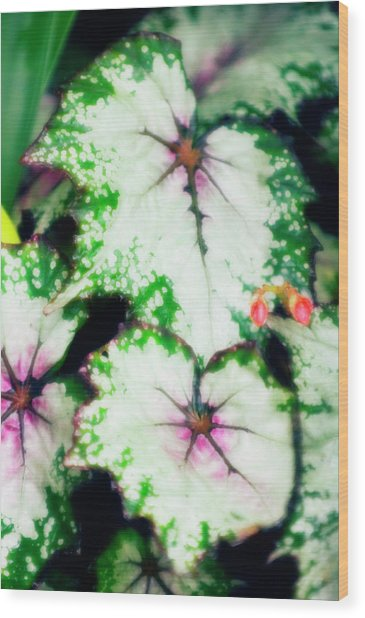 Begonia Leaves (begonia 'uncle Remus') Wood Print by Maria Mosolova/science Photo Library