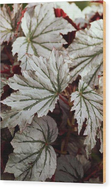 Begonia 'looking Glass' Wood Print by Maria Mosolova