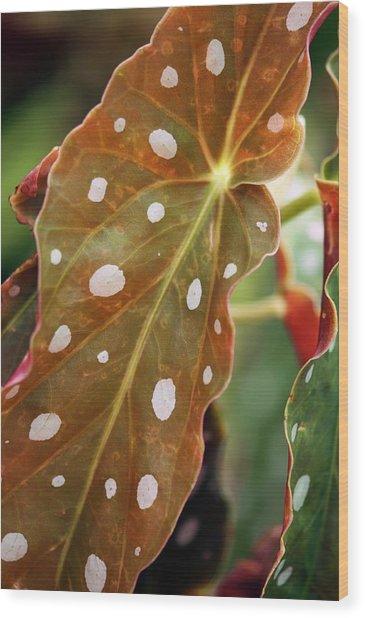 Begonia Maculata 'wightii' Wood Print by Maria Mosolova