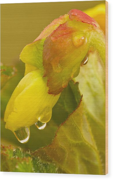 Begonia Raindrops  Wood Print