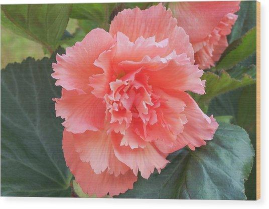 Begonia X Tuberhybrida 'samba' Wood Print by Ann Pickford/science Photo Library