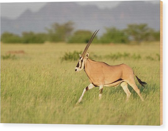 Beisa Oryx Running In Awash National Park Wood Print by Tony Camacho