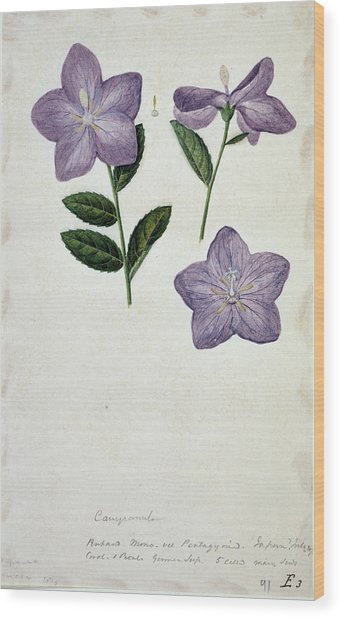 Bellflower Wood Print by Natural History Museum, London/science Photo Library