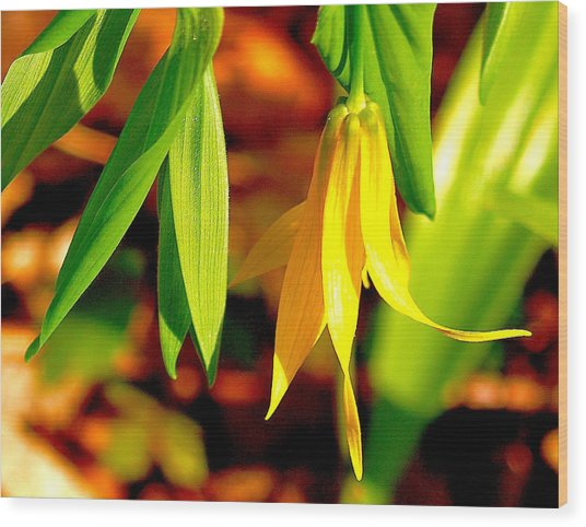 Bellwort On Display Wood Print