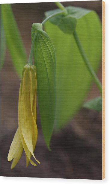 Wood Print featuring the photograph Bellwort Or Uvularia Grandiflora by Daniel Reed