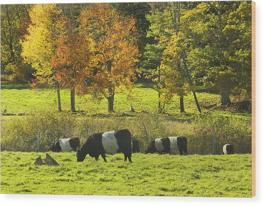 Belted Galloway Cows Grazing On Grass In Rockport Farm Fall Maine Photograph Wood Print