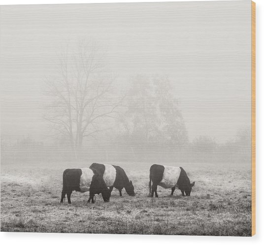 Belted Galloway Cows On Foggy Farm Field In Maine Wood Print