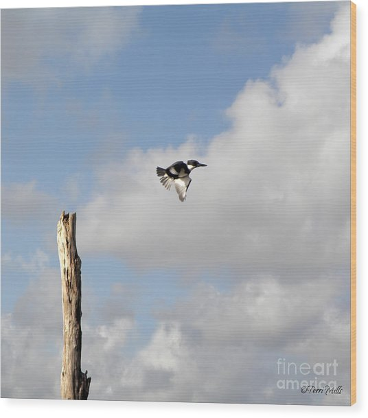 Belted Kingfisher In Flight Wood Print