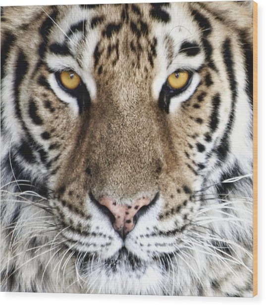 Bengal Tiger Eyes Wood Print