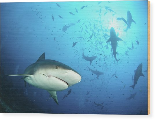 Beqa Shark Labs Wood Print