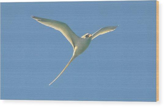 Bermuda Longtail In Flight Wood Print