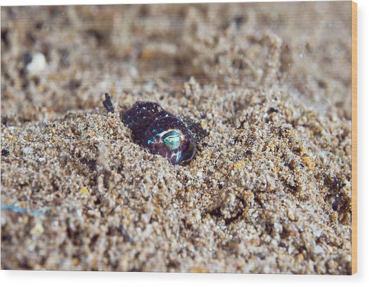 Berry's Bobtail Squid Wood Print by Scubazoo/science Photo Library