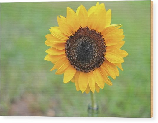 Big Bright Yellow Colorful Sunflower Art Print Wood Print